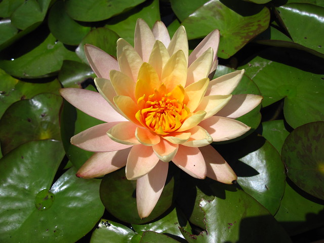 Water lily (Nymphaea) 'Peach Glow' in bloom. Photo by Rebecca Bullene.