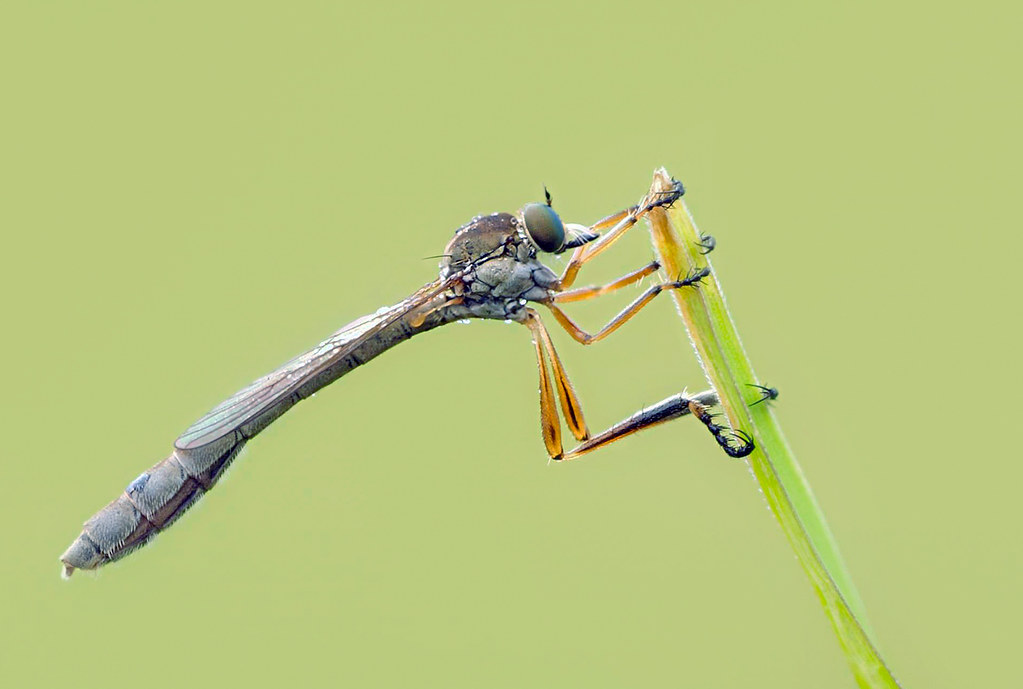 Raubfliege (Leptogaster cylindrica)