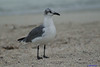 Laughing Gull by youngwarrior
