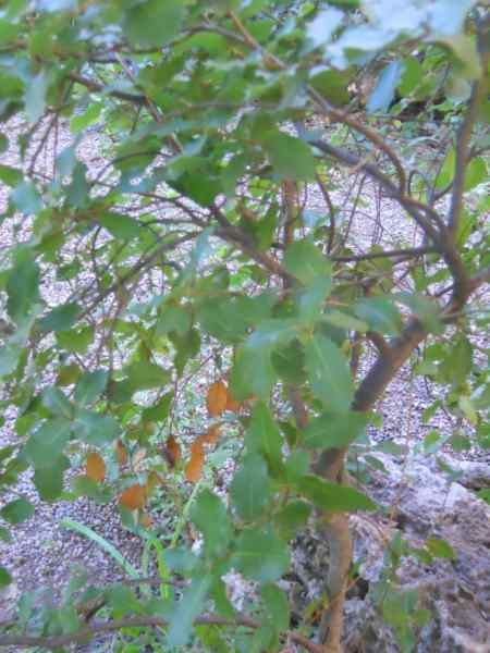 Quercus coccifera v 5