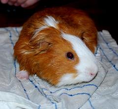 LENNIE - MY GRANDDAUGHTER'S PET GUINEA PIG