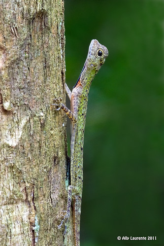Black-bearded Flying Lizard