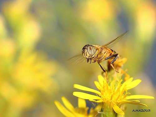 eristalinus in flight