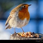 The European Robin (Erithacus rubecula)