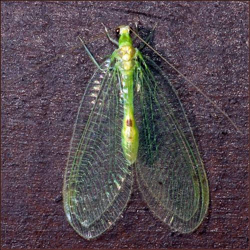 green georgia albany dougherty cohutta ellijay neuroptera chrysopidae lacewings insularis leucochrysa roybrown roybrownphotography roycohutta