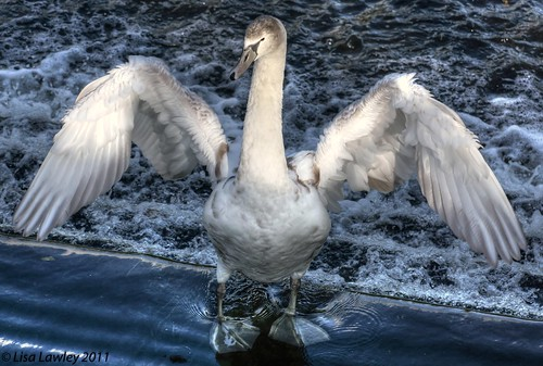 Almost There...(Cygnet and parent 2 of)