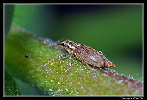 Sitone du pois (Sitona lineatus)