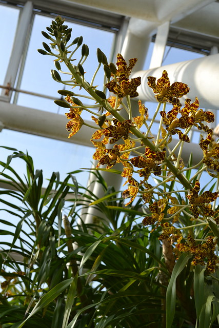 BBG's Grammatophyllum speciosum (tiger orchid) blooms in 2011. Photo by Uli Lorimer