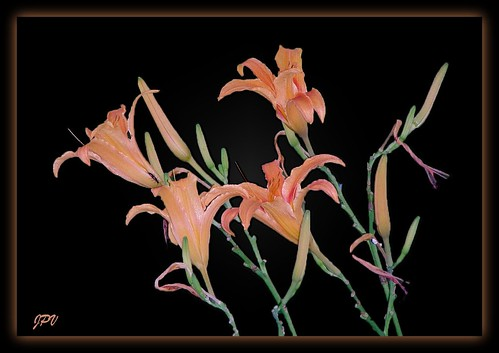 Day Lilies* by platypus51/jp