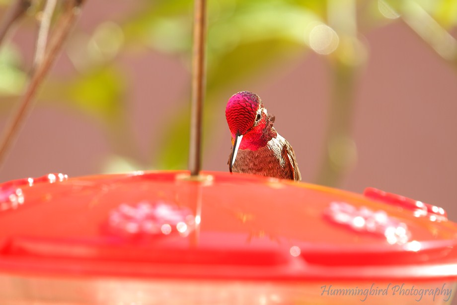 Anna's Hummingbird 112111