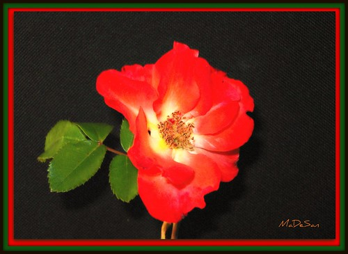 Una rosa spontanea per te , piccola e fragile donna ! A wind rose for you, little and fragile woman!