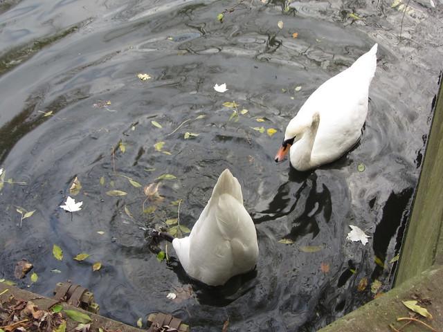 A swan's bum