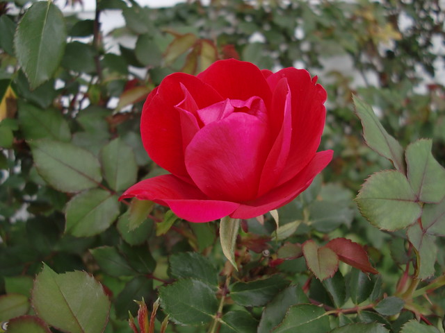 First Rose Bloom 2012