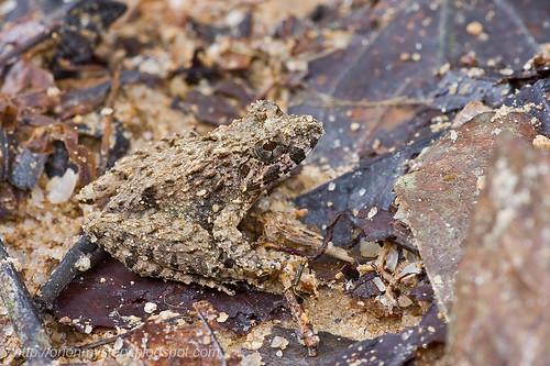 Blyth's River Frog...IMG_0626 copy