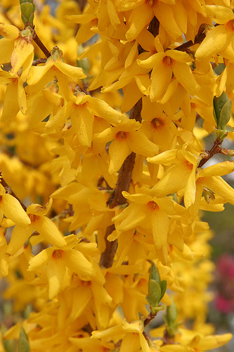 Forsythia - Spring at the Ballard Locks - Seattle