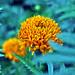 CRAVO - CARNATION FLOWER (Dianthus caryophyllus) by Estevam Cesar