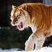 Walking golden tiger with open mouth
