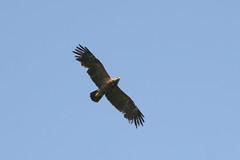 Lesser Spotted Eagle, Lac de Bouverans, France, 2006_05_23 (9 of 12).jpg
