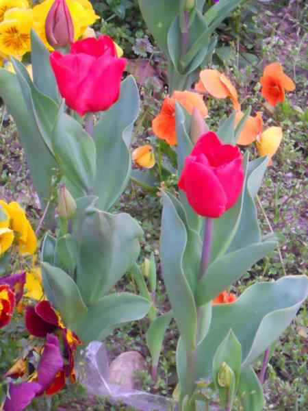 Tulipa darwin v 4