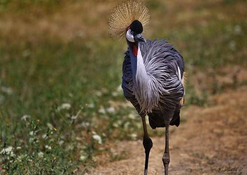 birds canon animalplanet canon70200f4l eastafricancrownedcrane rebelxs eos1000d winstonsafari
