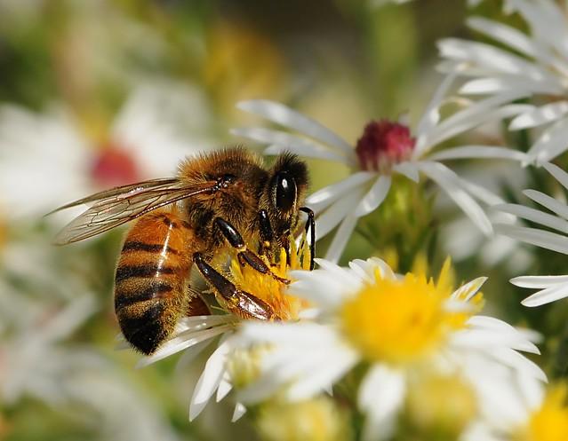 Western Honey Bee Apis Mellifera By Aditithestargazer