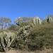 Cacti cerca de Mariscala de Júarez, Oaxaca, Mexico por Lon&Queta