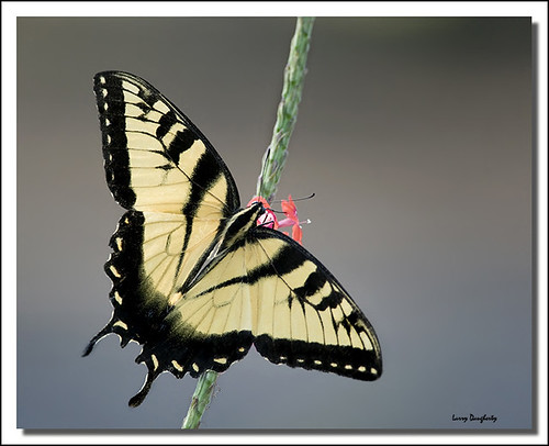 A Mizell Farms tiger swallowtail....