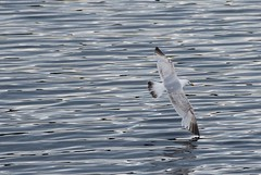 Sea Gulls - Salen Pier - 7
