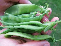 snow peas picked