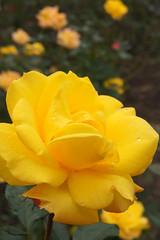 Rose Gold marie バラ ゴールド マリー