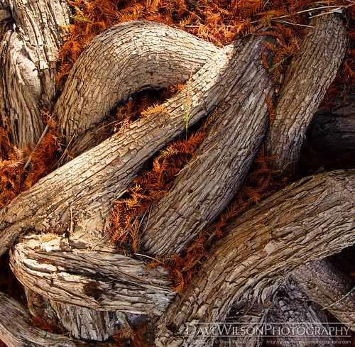statepark tree texas tx cypress needles root pedernalesfalls