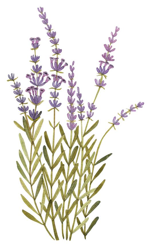 Line Drawing Lavender : Geninne s art herbal book