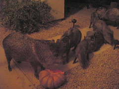 Giz was not happy about the 3AM intruders. In hindsight, throwing away the rotting pumpkin should have been a priority.