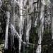 Aerophytes hanging from tree branches - Plantas aerófiticas colgando de las ramas de árboles; al sur de Tlaxiaco, Oaxaca, Mexico por Lon&Queta