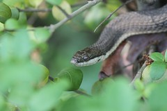 snake41 by fleegan.com