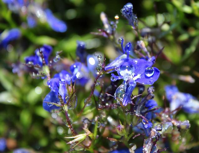 Images Of Lobelia Flower Meaning Rock Cafe