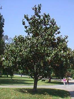 magnolia grandiflora 39 samuel sommer flickr photo sharing. Black Bedroom Furniture Sets. Home Design Ideas