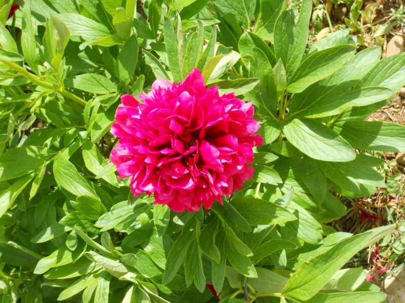Paeonia lactiflora 4