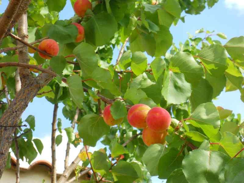 Prunus armeniaca 'Moniqui' 2