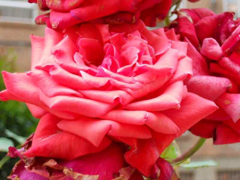 Rosa 'Papa Meilland' 2