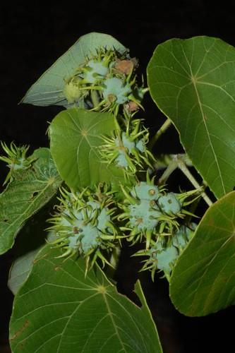 Macaranga tanarius