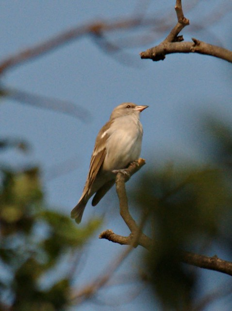 Yellow-throated Sparro...