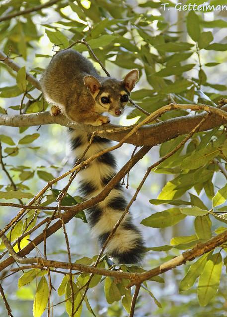 Ringtail (Bassariscus astutus) in Northern CA (2) | Flickr ...