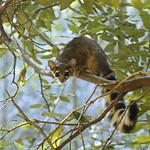 Ringtail  (Bassariscus astutus) in Northern CA (3)