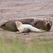 Donna Nook Seals  Lincolnshire UK-4