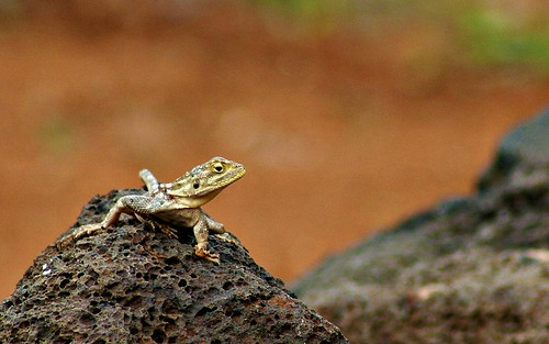 Young female Agama agama lizard