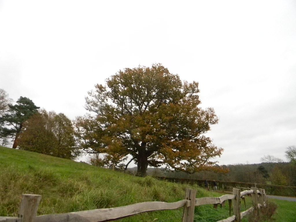 Big tree near Batemans Stonegate to Robertsbridge