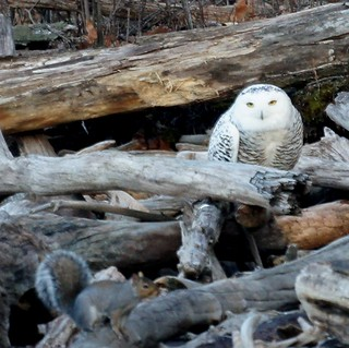Snowy Owl & Squirrel