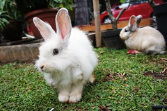 animal(1.0), grass(1.0), rabbit(1.0), domestic rabbit(1.0), pet(1.0), fauna(1.0), angora rabbit(1.0), rabits and hares(1.0),