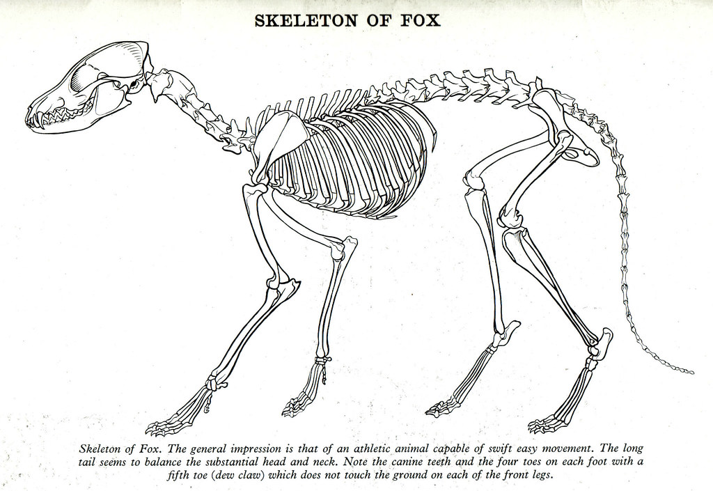 goat skeletal diagram